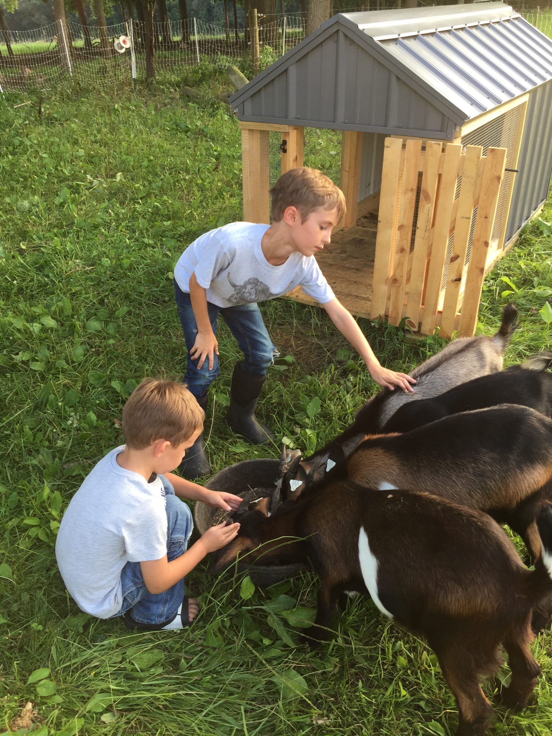 kids playing with goats